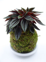"""Peperomia rosso"" Emerald Ripple Pepper"
