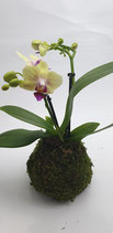 "Mini - Orchidee ""Little lady"""