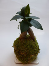 """Ficus microcarpa"" Chinesische Feige"