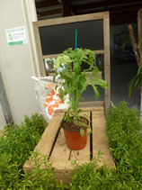 Plant greffé de tomate cœur de Bœuf