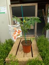 Plant greffé de Tomate Prévia