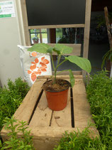 Plant greffé d'Aubergine Baluroi