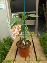 Plant greffé de Concombre Bella