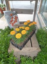 Rose d'Inde orange
