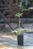 Himbeeren die im Herbst Früchte tragen