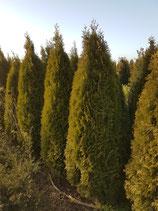 Coniferen: thuja smaragd