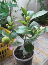 Вариагатный кумкват Маргарита (kumquat margarita var 'centennial')