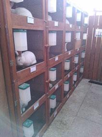 Zuchtstall Weißrex Blauaugen