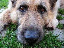 L'humidité du nez du chien