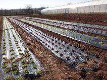 Plantation de salades en plein champ aux saveurs de Gâtine