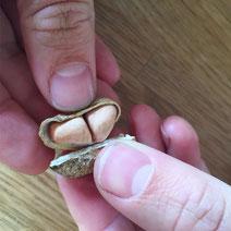 Erfahrungsbericht Erdnüsse anbauen
