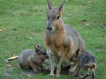 mara ou lievre de patagonie