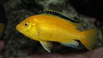 Labidochromis caeruleus yellow