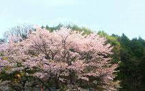 さんわ182ステーション近くの桜