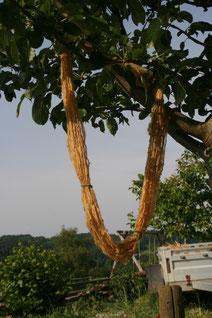Walnussfärbung im Apfelbaum
