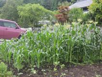 奥から8月上旬、8月中旬、8月下旬用のトウモロコシ
