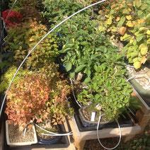 Freilandbonsai / Gartenbonsai auf einem Regal