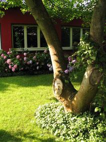 Magnolie am Gartenatelier