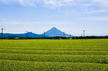 南九州の茶畑