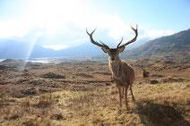 スコットランドのアカシカ
