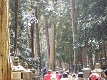 雪が融けて杉から落ちてきます