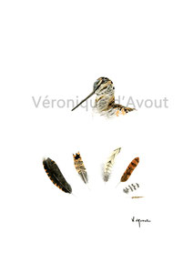 R18 Head & Feathers bécassine