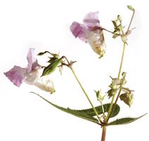 Bach Blüten Nr. 18 Imatiens Drüsentragendes Springkraut