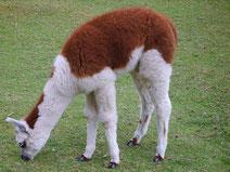 alpaca lama