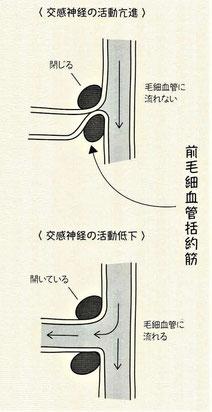 交感神経の活動:前毛細血管括約筋