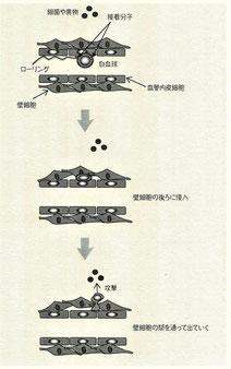 毛細血管の免疫の働き