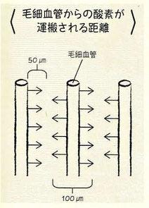 毛細血管から酸素が運搬される距離