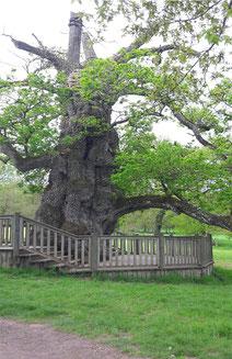Seelenbaum - Magische Eiche