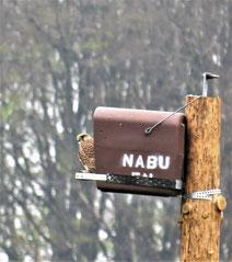 Turmfalkenweibchen an der NABU-Nisthilfe (Foto: R.Steiner)
