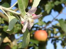 Apfelbaum mit Blüte und Apfel (Foto:Roland Steinwarz)