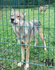 Interessierter Jungwolf.