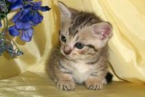 マンチカンの子猫の激安販売