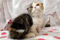 スコティッシュフォールドの子猫の激安販売ページ