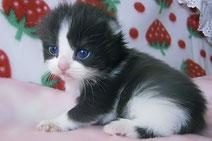 その他の猫種:アメリカンカール、キンカローの子猫の激安販売
