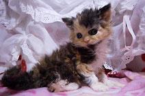 セルカークレックスの子猫の激安販売