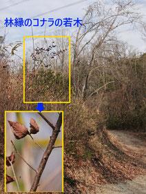 写真4.林縁のコナラの若木