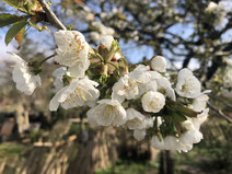 Kirschblüte 2020 (c) Alte Schule Bokel