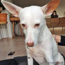 Bizepssehnenentzündung Hund