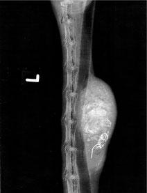 Röntgenaufnahme von Angelhaken mit Eiterabszess, in der Speiseröhre eines Schwans.