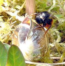 Zweifarbige Mauerbiene | Bild: Rainer Michalski