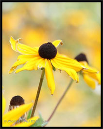 Sonnenhüte (Rudbeckia fulgida)