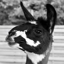 Lama Mama · Lamawanderung · Lama-Erlebnis · Lama-Kindergeburtstag · Lama-Events · Tiergestützte pschologische Beratung · Sommerein · Niederösterreich