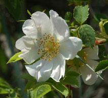 fleur d'églantier (photo s&m)