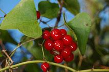 la salsepareille aux fruits TOXIQUES (photo s&m)