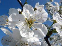 Cherry Plum, Kirschpflaume