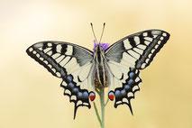 Makrofotografie von Schmetterlingen / Macro photography of butterflies